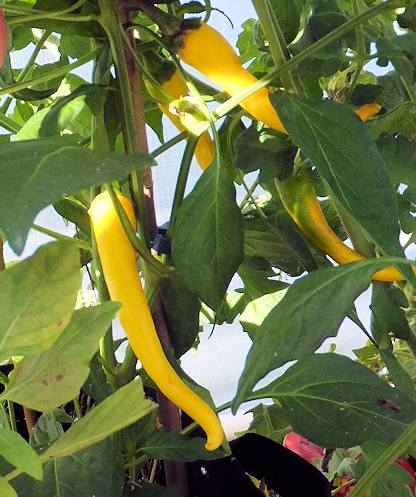 Yellow Cayenne Hot Chile Pepper