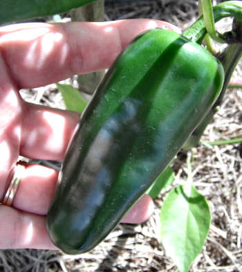 Mammoth Jalapeno Pepper
