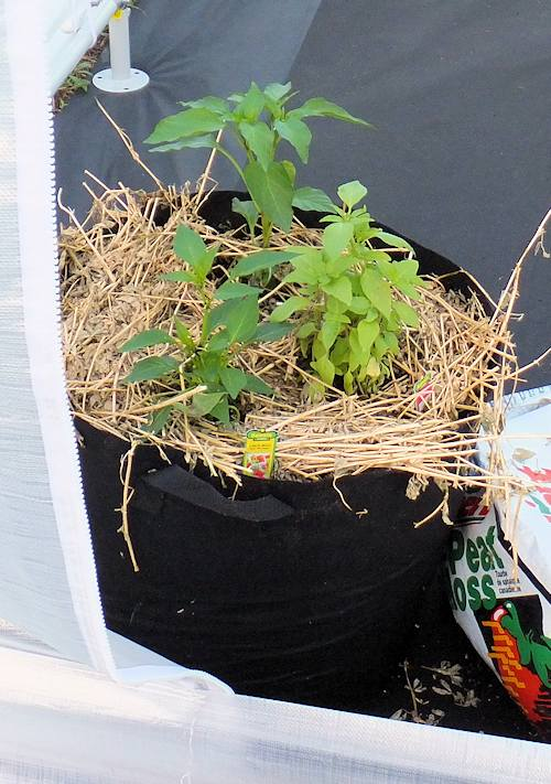 Here is a grow bag / smart pot with peppers and basil.