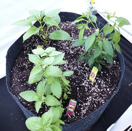 Tabasco (upper left), Dragon Cayenne (upper right) and Cinnamon Basil (foreground).  These were just planted 3 days ago.